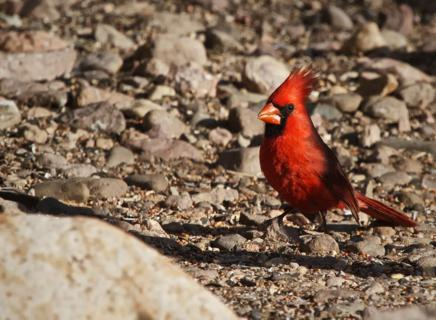 The Desert Cardinal's Close Relative, the Northern Cardinal (Cardinalis cardinalis) on the Ground