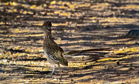 The Movie Star in Person: A Greater Roadrunner (Geococcyx californianus) Runs along the Miller Canyon Road