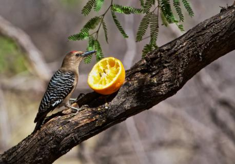 A Gila Woodpecker (Melenerpes uropygialis) Likes Oranges