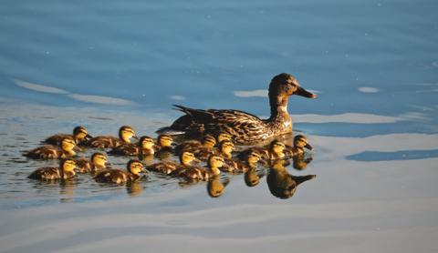 Sixteen Mallard Ducklings Follow This Female Mallard (Anas platyrhynchos)