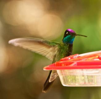 The Magnificent Hummingbird (Eugenes fulgens) Is Both Colorful and One of the Largest Hummers