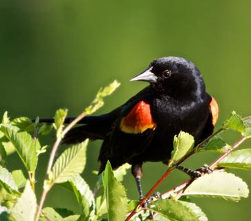 A Male Red-winged Blackbird (Agelaius phoeniceus) Confidently Puffs Up Its Scarlet and Yellow Shoulder Patches