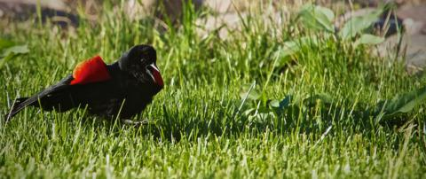 A Red-winged Blackbird (Agelaius phoeniceus) Shows Its Stuff