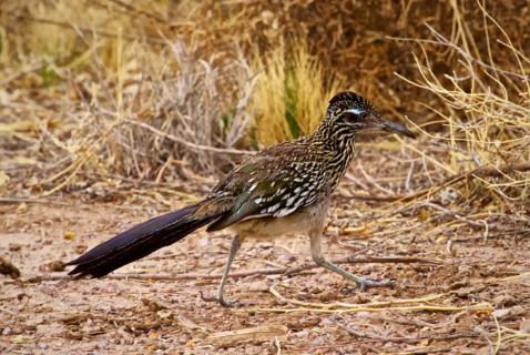 A Greater Roadrunner (Geococcyx californicanus) Runs Across the Road