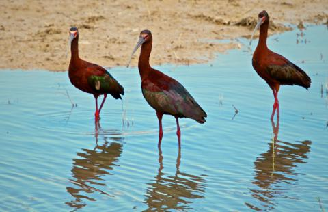 Three White-faced Ibis (Plegadis chili) Gather for a Meeting about Water