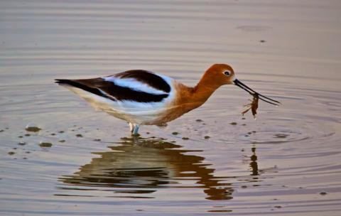 An American Avocet (Recurvirostra americana) Grabs an Early Breakfast