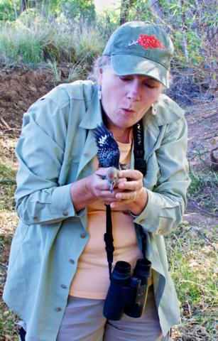 Sheri Rescues a Gila Woodpecker (Melanerpes uropygialis) Chick