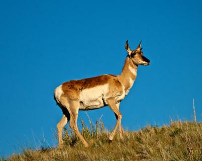 A Pronghorn Climbs a Ridge Near Buffalo