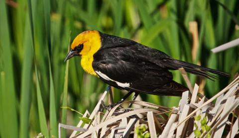 A Yellow-headed Blackbird Roosts at the Edge of the Marsh