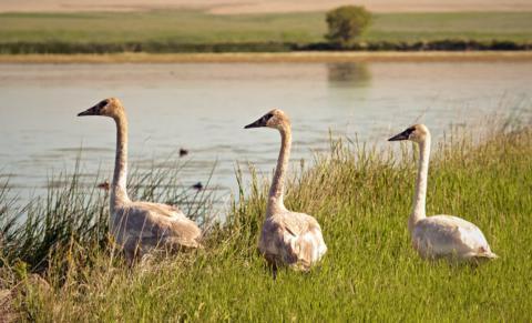 Juvenile Trumpeter Swans Rest at the Shore