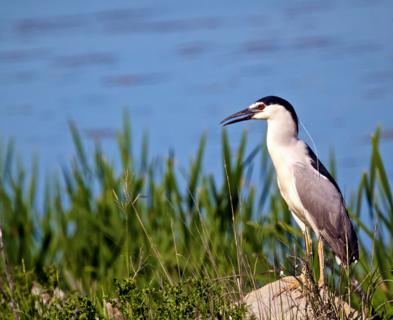 A Black-crowned Night-Heron Forages at Water's Edge