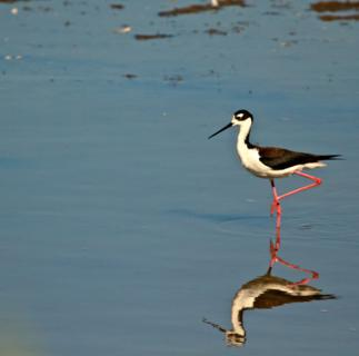 A Black-necked Stilt Hunts for a Breakfast Bite