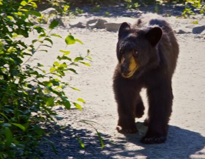 The Bear That I Met on the Exit Glacier Trail