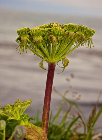 This Wild Celery Only Looks Like a Weird Tree Because I Photographed It from Celery Level