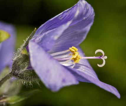 The Jacob's Ladder Flower Tolerates the Island's Dreary Weather