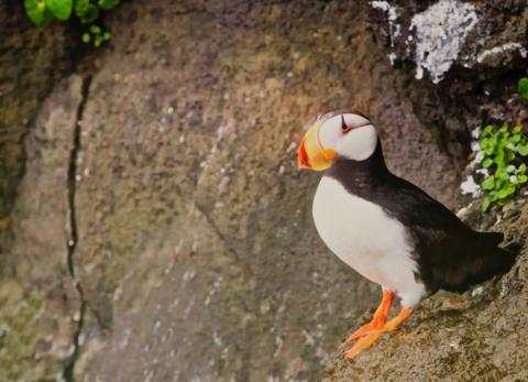 The Horned Puffin Gets its Name from the Horny Projections About Its Eyes