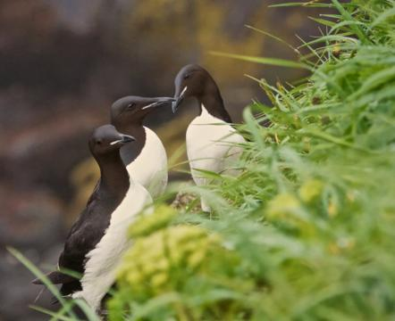 Thick-billed Murres are the Largest Living Auks