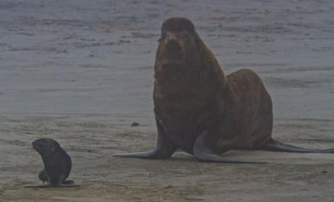 A Little Seal Pup Lost in the Fog Looks for Mama and Finds Only a Big, Uncaring Male