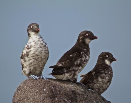 Least Auklets Are the Most Abundant Sea Bird in North America, but Bred only on the Islands of Alaska and Siberia