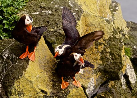 I Think the Other Puffins Would Like a Share