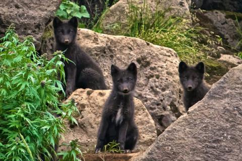 These Arctic Fox Pups Are Only One or Two Months Old and May Never Have Seen a Camera Before