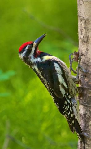This Yellow-bellied Sapsucker Spends the Summer in Canada