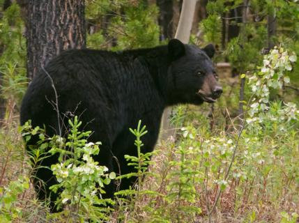 This Big Black Bear Was More Afraid of Me Than I Was of It (But I Was in my SUV)