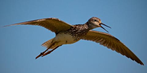 This Sandpiper Flew Over, Calling All the While