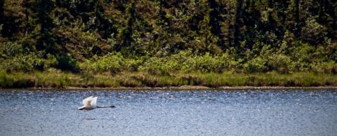 A Trumpeter Swan Takes Off in Wrangell-St. Elias National Park