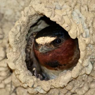 A Cliff Swallow Seems to Resent a Peeping Tom Looking Into Its Home
