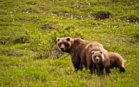 The Grizzly Bear Sow and One Cub Are Ready to Attack Me​