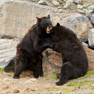 A Couple of Black Bears Determine Who's Boss