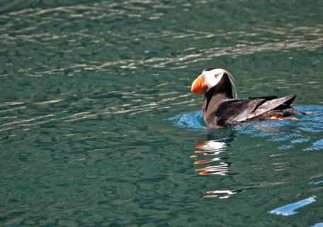 A Tufted Puffin Swims