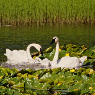 This Trumpeter Swan Family Came Closer and Closer to Me As I Photographed Them
