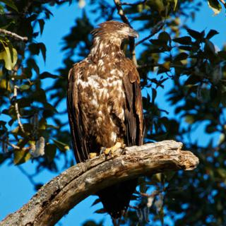 Marveen Spotted This Immature Bald Eagle High in a Tree over the River
