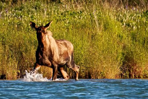 A Moose Comes to Water