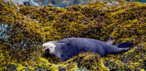 An Old Sea Otter Rests on Land