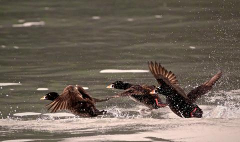 ​Three Surf Scoters Make Their Own Surf