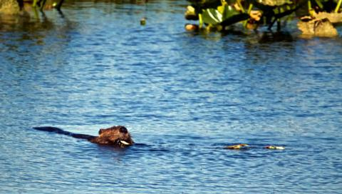 A Busy Beaver in Salamatof Lake​