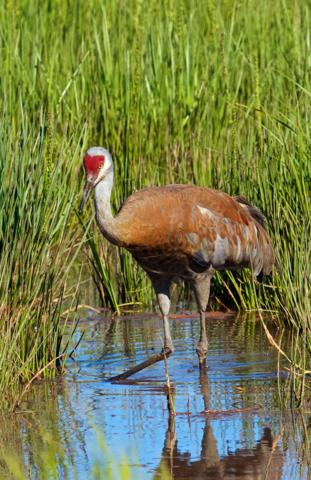 One of the Painted Sandhill Cranes near the Beluga Slough Trail