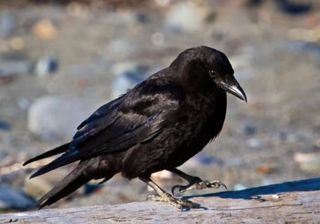 A Raven Prepares to Fly at the Anchor Point Beach