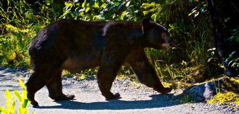 A Big Black Bear Crosses the Path to the Mendenhall Glacier