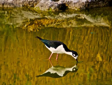A Black-necked Stilt and its Reflection