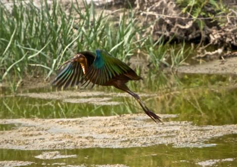 A Glossy Ibis Takes Off