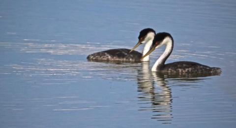 A Duet of Western or Clark's Grebes
