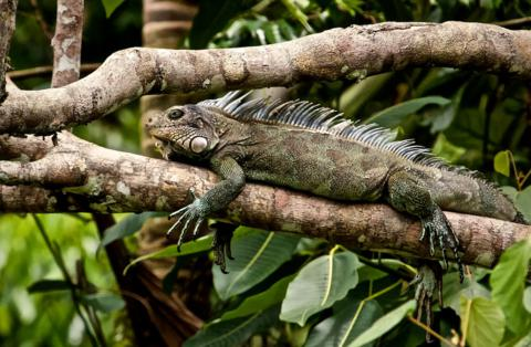 A Green Iguana in Another Tree