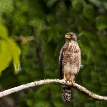 A Roadside Hawk in a Tree without a Road