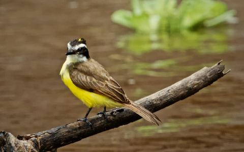 Lesser Kiskadees, Like This One on Nauta Creek, Live from Panama to Bolivia Always Along Waterways