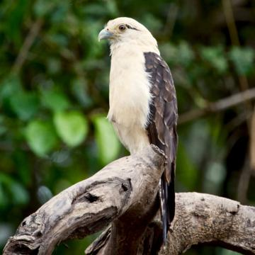 A Yellow-headed Caracara (Milvago chimachima) Isn't as Gentle As its Names Suggests