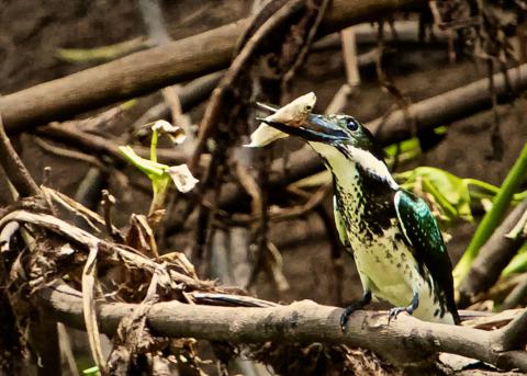 A Female Amazon Kingfisher Proves that She Can Fish